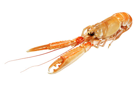 raw lobster: isolated Nephrops norvegicus Scampo on white plane Stock Photo