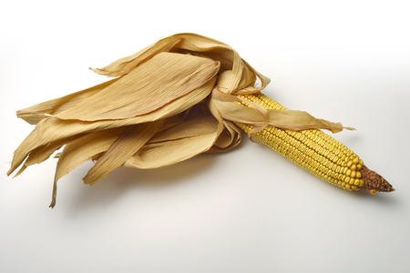 maize: Single Mature maize ear on white