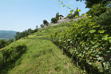 Rows of vine on the hillside in spring