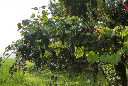 lambrusco: Typical Rows of vine with lambrusco grapes in plains of Emilia - Italy