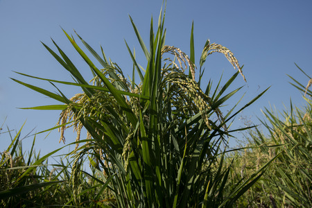 cultivation: Ears of rice almost ripe in late summer