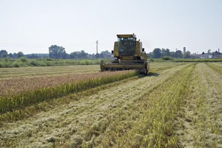 pv: Mortara (PV) , Italy - September 12, 2016 - Harvesting and threshing rice in Lomellina