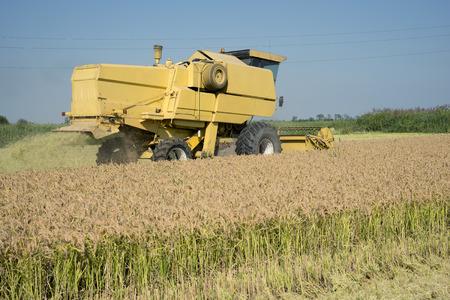 grass cutting: Mortara (PV) , Italy - September 12, 2016 - Harvesting and threshing rice in Lomellina