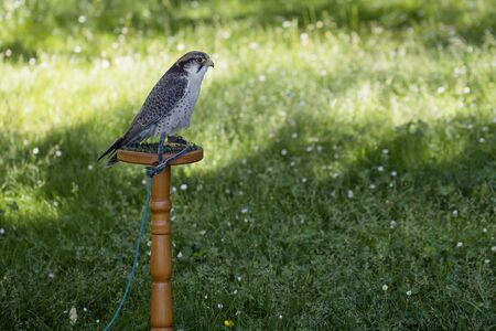 Single Lanner falcon perched on trespole Stock Photo
