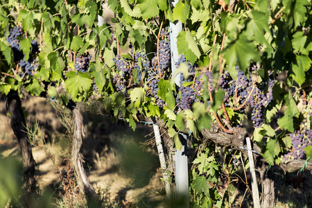 Chianti grape bunches on the vine in Tuscany
