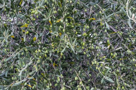 Detail of olive tree laden with olives in Tuscany Stockfoto
