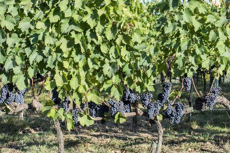 Rows of Sangiovese grapes in Montalcino in Tuscany in September