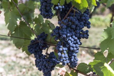 Detail of Bunches of Sangiovese grapes in the Chianti region of Tuscany