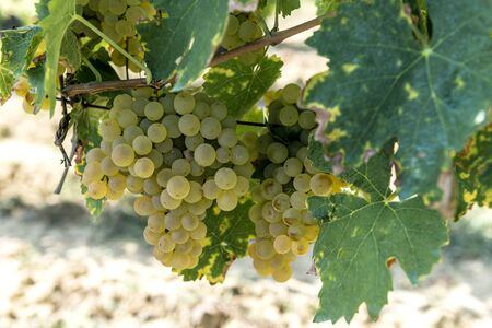 Detail of Bunches of white grapes for Vernaccia di San Gimignano in Tuscany Stockfoto