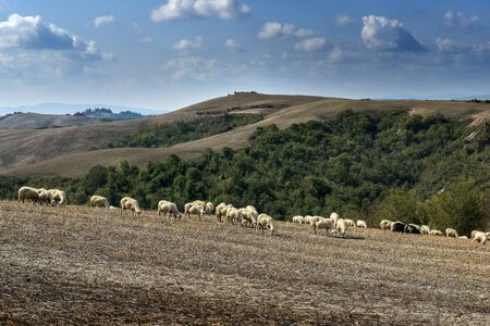 Sheep grazing on the Sienese hills in Tuscany in September