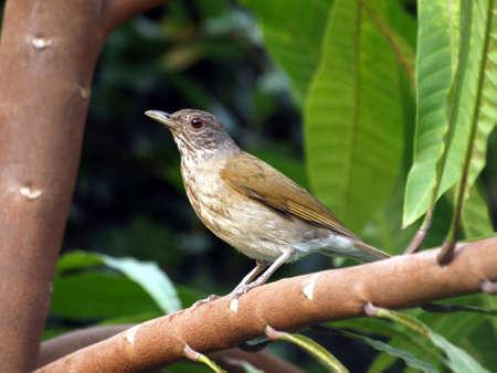 Bird, Trushes