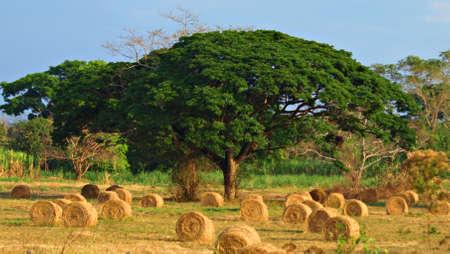 pastureland: Saman and Pastureland