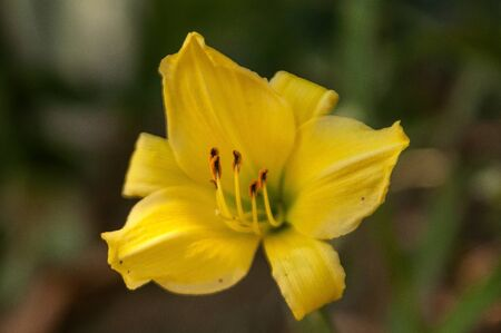 lemony: The blossoming independent beautiful flower of a lily of yellow color outdoors