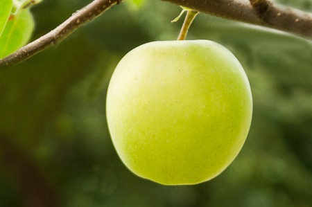 the tempter: Apple on a branch the independent consecrated with the beautiful sun
