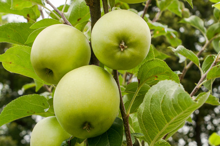 tempter: Apples on a branch consecrated with the beautiful sun independent in group Stock Photo
