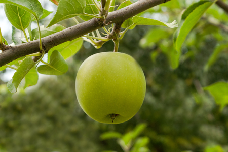 consecrated: Apple on a branch the independent consecrated with the beautiful sun