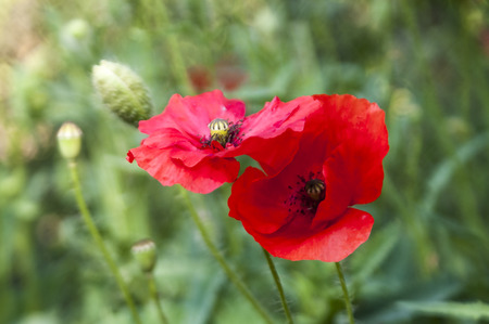 romanticism: Flowers of red poppy