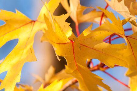 hojas de arbol: Hojas de oro contra un cielo azul hermoso Foto de archivo