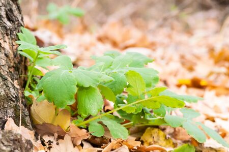 sickly: Green blossoming flower among the yellow leaves in autumn Stock Photo