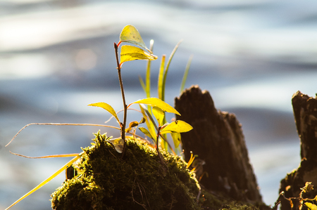 falling tide: sprout from the stump in the water