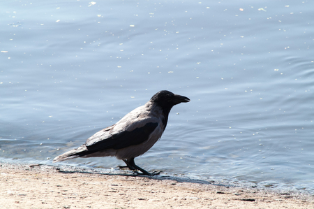 croak: crow on the beach in the grass near the water