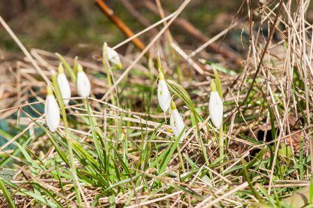 spring flower primrose, snowdrop bud blooming in the sun