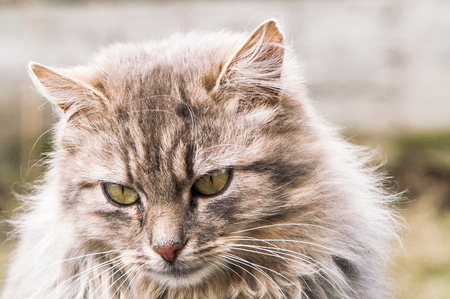 one of a kind: portrait of a beautiful fluffy cat closeup