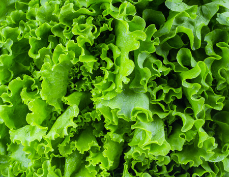 Fresh lettuce leaves, close up. Imagens