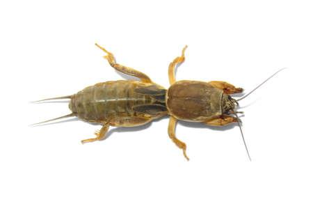saboteur: One mole cricket isolated on white background.
