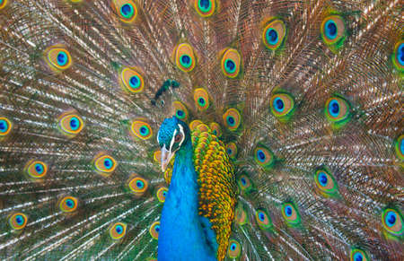 One beautiful peacock against background of his beautiful tail.