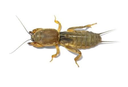 One mole cricket isolated on white background.