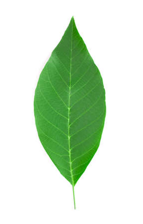 Colorful English walnut leaf isolated on white background.