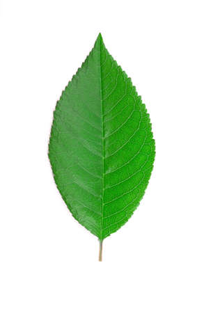 Colorful cherry leaf isolated on white background. Stock Photo