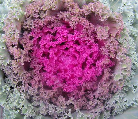 Close shot of the decorative cabbage blossom.