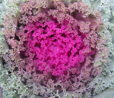 Close shot of the decorative cabbage blossom.