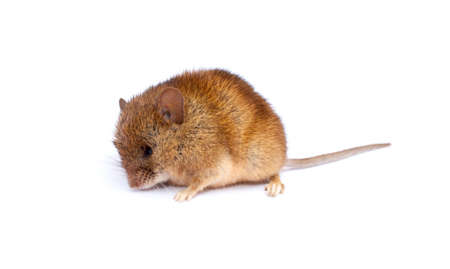 One cute little mouse isolated on white