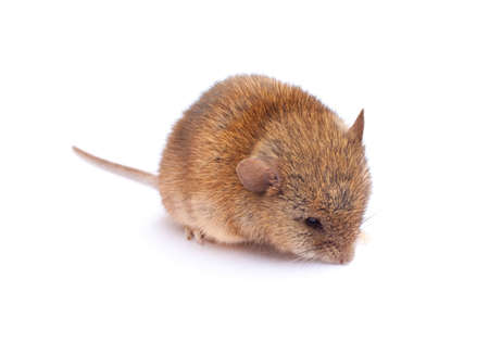 Cute little mouse that is smelling something. Stock Photo