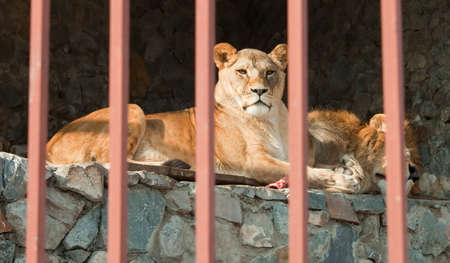 Proud couple of lions lying behind the bars at the city zoo  Stock Photo