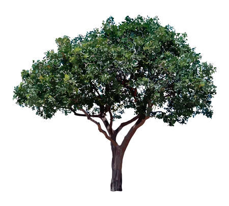 One olive tree isolated on white background. Illustration