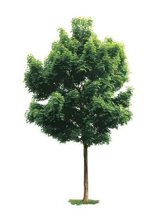 Grüner Ahornbaum isoliert auf weißem Hintergrund.