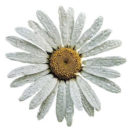 One beautiful camomile isolated on white background  Illustration