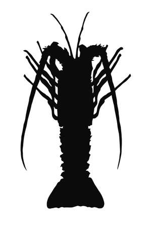 spiny: Single crayfish silhouette isolated on white background