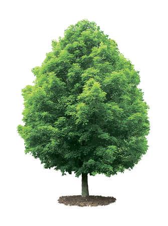maple syrup: Green maple tree isolated on white background  Illustration