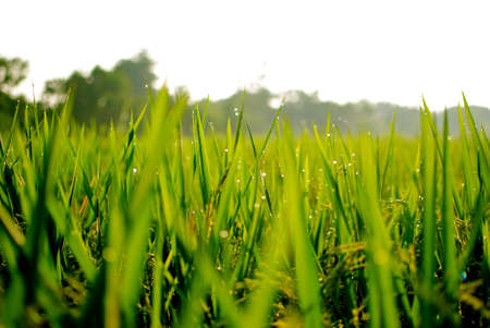 morning green ricefield in countryside