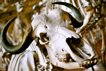 horns: close up buffalo skull with curved horns