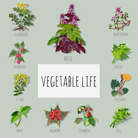 marjoram: A set of useful varieties of herbs Illustration