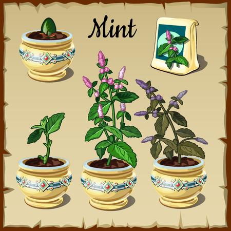 pflanze wachstum: Phase des Pflanzenwachstums Minze in einem Topf, Collage Vielfalt Illustration