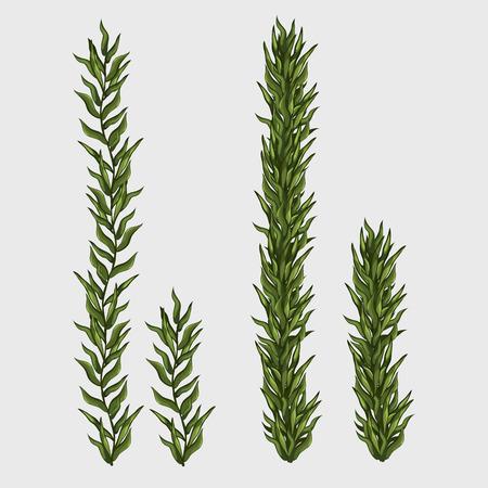 algas marinas: Dos algas, hierba clásica bajo el agua, ilustración