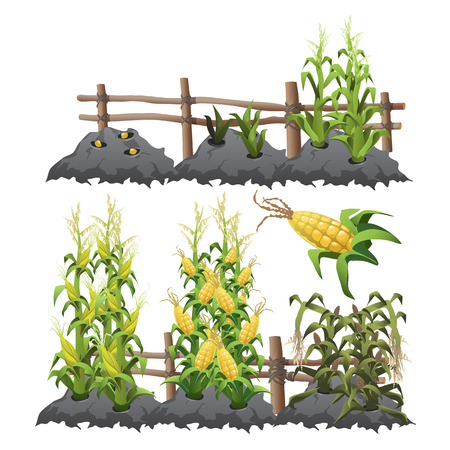 harvesting: Planting, growing and harvesting corn Illustration