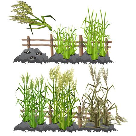 Planting, growing and harvesting sugarcane Illustration